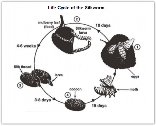 Academic ielts writing task 1 sample 94 life cycle of the silkworm the life cycle of the silkworm ccuart Images