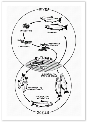 Life cycle of a salmon, from egg to adult fish
