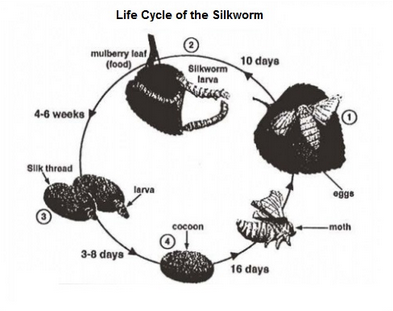 Life cycle of the silkworm